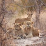 Three female lions from a pride relaxing together